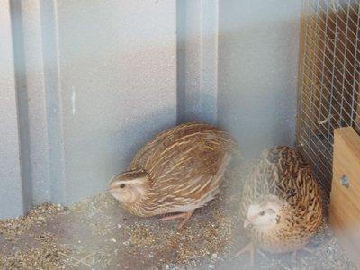 Two of the three quails.