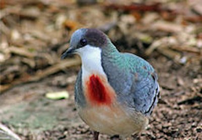 Bleeding Heart Dove.jpg